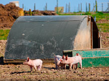 Piglets on pig farm. Piglets on a pig farm in front of pen stock images