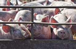 Piglets in Pig Pen Royalty Free Stock Image