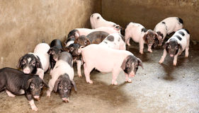 Piglets in pigsty Stock Image