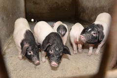 Piglets in pigsty Stock Photos
