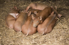 Piglets in a Pile Stock Photography