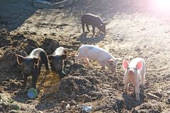 Piglets playing and jolly run in farm yard. Funny pigs in sunny rays. Baby piglets play in yard. Little pigs live at farm in village. Piglets digging in manure royalty free stock image