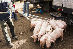 Piglets ready for sale in the Andean market Stock Photo