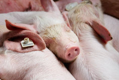 Piglets resting after feeding Stock Image