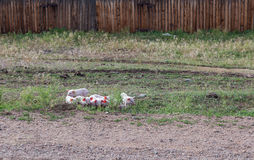 Piglets the road Royalty Free Stock Image