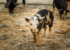 Piglets at roadside in central Corsica Royalty Free Stock Image