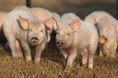 Piglets Running Royalty Free Stock Photo