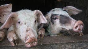 Piglets showing their head Stock Photography
