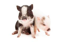Piglets Sitting Together. Black and a white color piglets sitting together against a white background stock photo