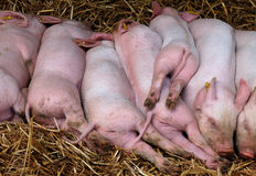 Piglets Sleeping Stock Images