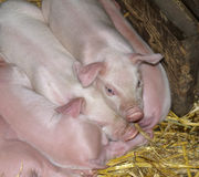 Piglets sleeping. Closely together in the hay in a barn Royalty Free Stock Photography