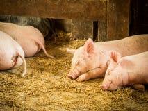 Piglets Sleeping on Barn Floor Royalty Free Stock Photography