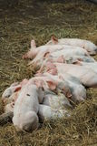 Piglets sleeping Stock Photo