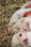 Piglets sleeping Stock Photos