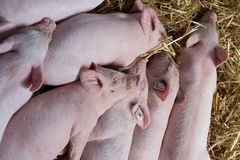 Piglets sleeping on straw Royalty Free Stock Photos