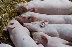 Piglets sleeping on straw Stock Images