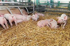 Piglets Royalty Free Stock Image