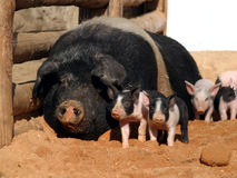 Piglets and sow Royalty Free Stock Photo