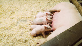 Piglets and sow in pen