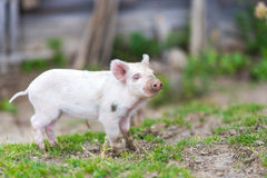 Piglets on spring green grass on a farm Royalty Free Stock Photo