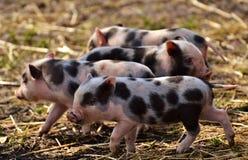 Piglets in straw