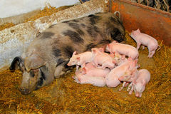 Piglets sucking royalty free stock photography