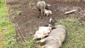 Piglets stock video