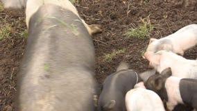 Piglets stock footage