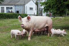 Piglets suckling from fertile sow on summer pasture. Sow and her piglets on summer pasture royalty free stock photo