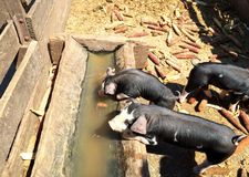 Piglets. Two piglets drinking from trough in pig sty stock photography