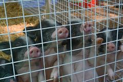 Piglets are waiting for food stock images
