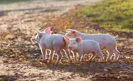 Piglets walking on farm. Cute piglets walking on mud and grass on farm in autumn Stock Images