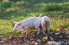 Piglets walking on farm Royalty Free Stock Photography
