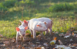 Piglets walking on farm. Cute piglets walking on mud and grass on farm in autumn royalty free stock images