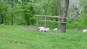 Piglets walking and playing stock video