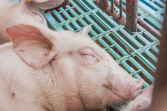 Piglets were sleeping. In the farm Royalty Free Stock Photos