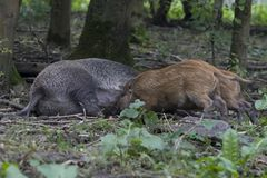 Piglets, wild boar. Mother to suckle her piglets, wild boar, the Netherlands Royalty Free Stock Image