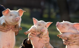 Piglets in workers hands Stock Photo