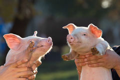 Piglets in workers hands Royalty Free Stock Photo