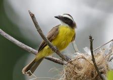 pigliamosche Arrugginito-marginato al suo nido - Panama immagine stock
