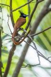 Pigliamosche asiatico di paradiso nel parco nazionale di Minneriya, Sri Lanka Fotografia Stock