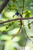 Pigliamosche asiatico di paradiso nel parco nazionale di Minneriya, Sri Lanka Fotografia Stock Libera da Diritti