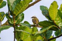 Pigliamosche sociale su un albero in Tortuguero, Costa Rica Immagini Stock