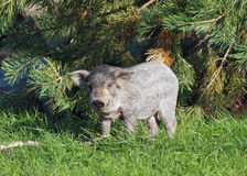 The pigling of Hungarian breed Mangalitsa Royalty Free Stock Photography