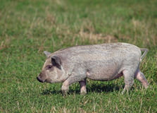 The pigling of Hungarian breed Mangalitsa Royalty Free Stock Photos