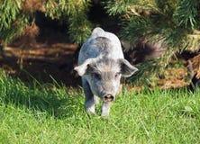 The pigling of Hungarian breed Mangalitsa Royalty Free Stock Image
