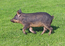 A  pigling hurries on a green meadow Royalty Free Stock Image