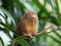 Pigmee monkey Royalty Free Stock Photo