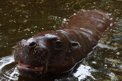 Pigmej Hippotamus Zdjęcie Stock