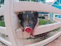 Pigmejowa świnia przy zoo swój powiedzenie cześć Obraz Stock